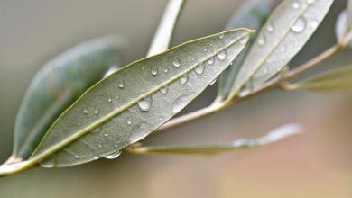 Photo of Zeytin Yaprağının Cilde Faydaları Nelerdir?